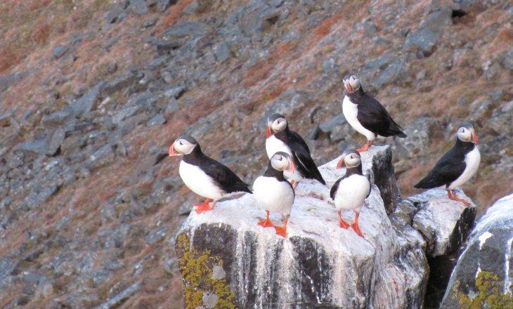 Ein paar wenige zurückgebliebene Papageientaucher sitzen auf einer Steinsäule