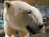 Eisbär im Museum