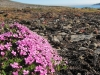 Nährstoffe aus den Walross-Überresten lassen Blümchen gedeihen