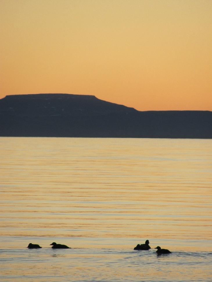 Eine Gruppe Enten schwimmt ohne Mitternachtssonne in der Nacht auf dem Isfjord